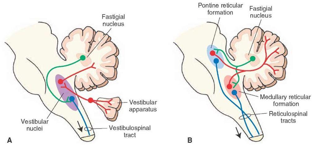 Los diagramas ilustran las relaciones de salida del núcleo fastigial del cerebelo con (A) los núcleos vestibulares y la médula espinal y (B) ret.